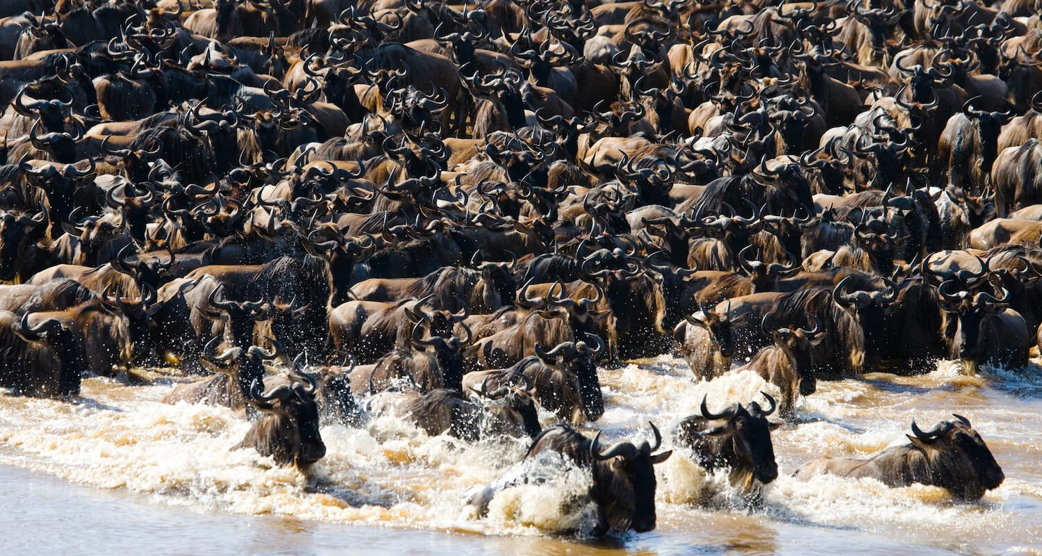 Around July, the Great Wildebeest Migration crosses the Grumeti River.