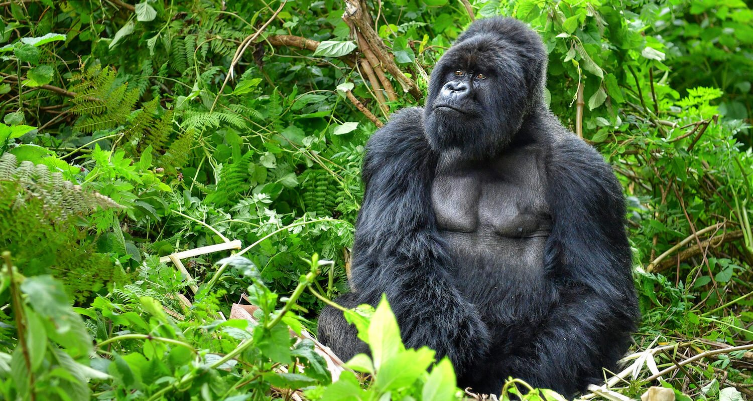 From September to November, the mountain gorilla of Bwindi descend to where it's warmer.