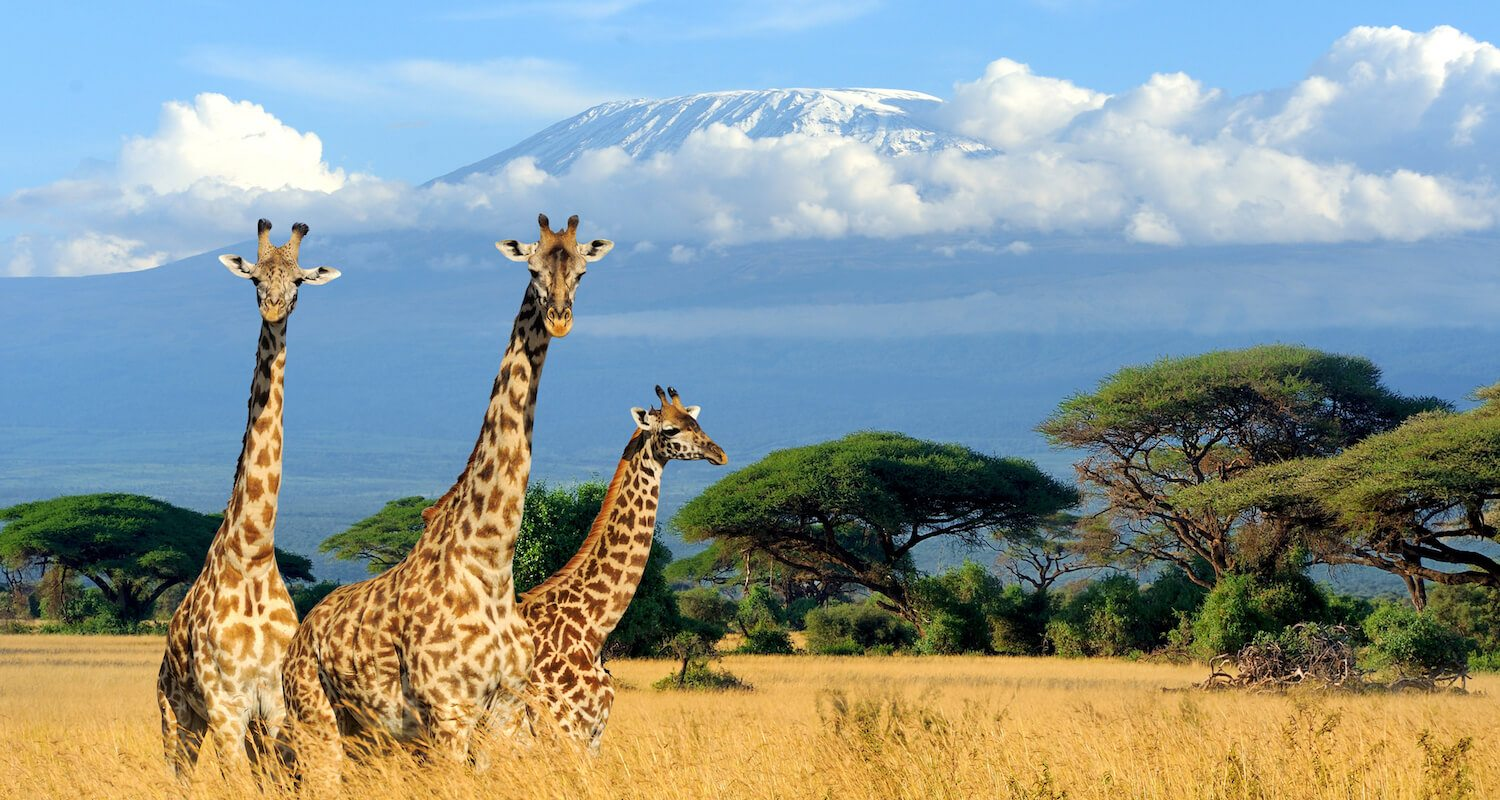 The clear skies in the dry season allow for iconic views of Mount Kilimanjaro from Amboseli.