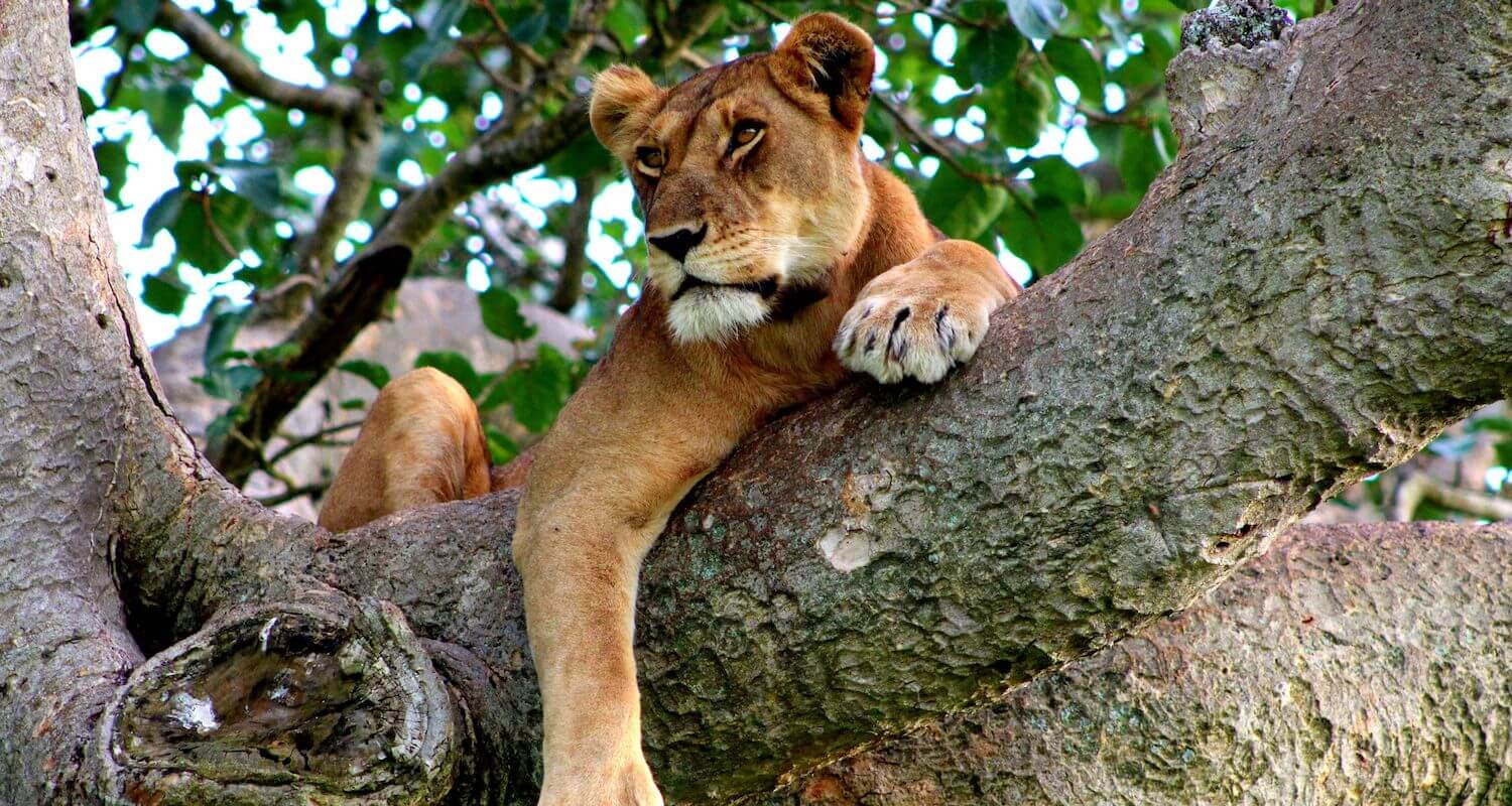 Uganda's tree-climbing lion seek out shade in the dry seasons.