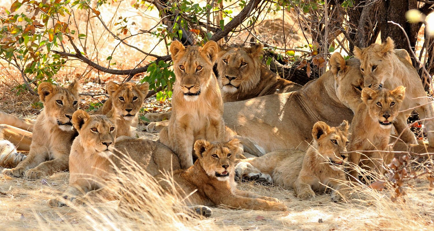 As Tanzania's dry season progresses, from mid-June to late October, it's easier to spot game, like lion.