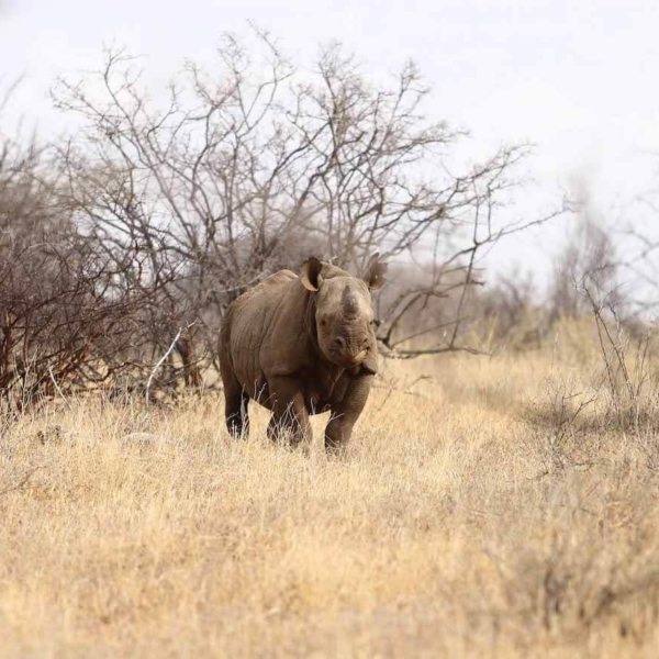 Saruni Rhino is the only lodge in Kenya that offers rhino tracking. © Saruni