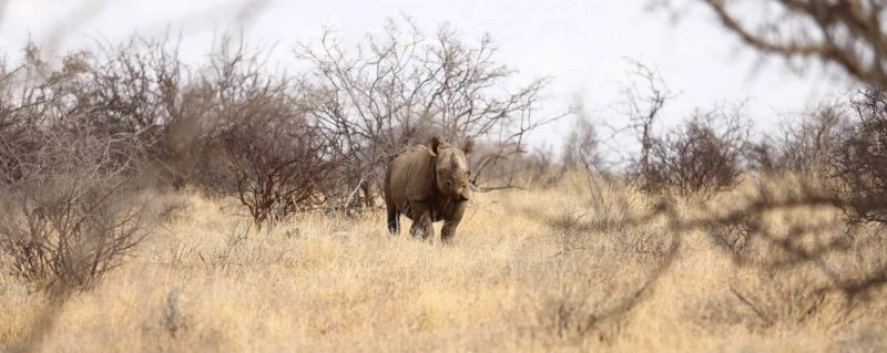 Rhino tracking is a highlight of a Kenya safari. © Saruni Rhino