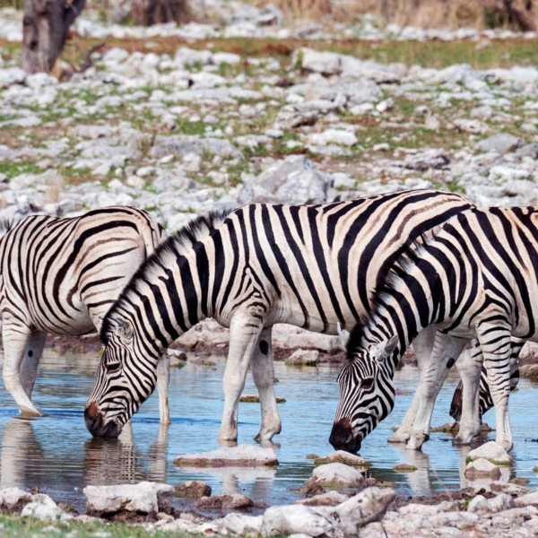 This dazzle of zebra is wetting its whistle near Onguma The Fort.