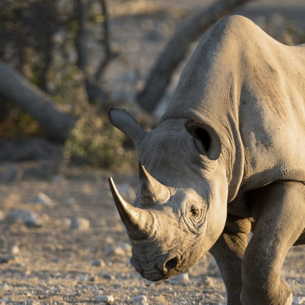 Sadly there aren't many black rhino left in the world.