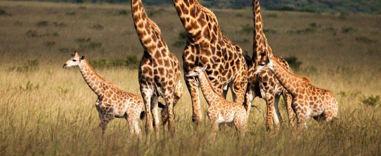 Journey of giraffe | Wallpaper | Art Of Safari