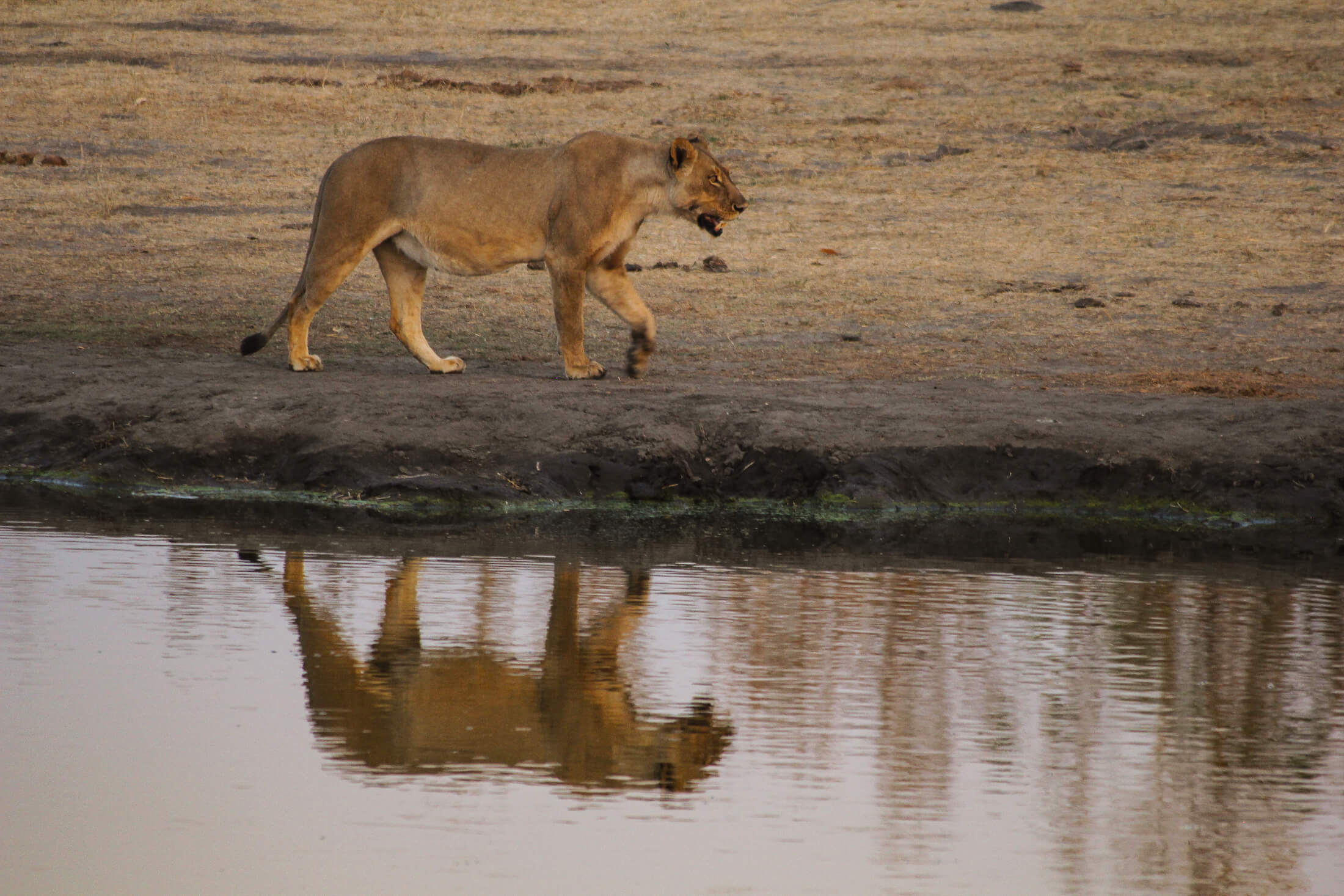 This thirsty cat found refreshment at Somalisa Camp's waterhole. © Gary Lotter