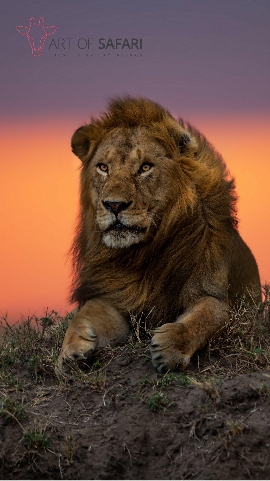 Wallpaper | A Lion At Sunset | Art Of Safari