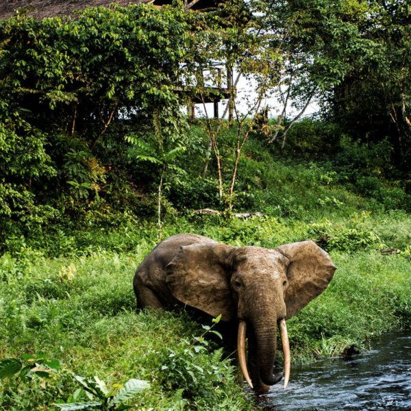 Elephant come right into Mboko Camp. © Odzala Discovery Camps