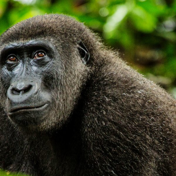 The gorilla you'll see when Congo gorilla trekking are habituated, but still wild. © Odzala Discovery Camps
