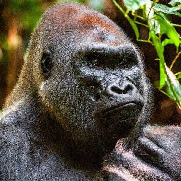 You can go gorilla trekking in Odzala-Kokoua National Park.
