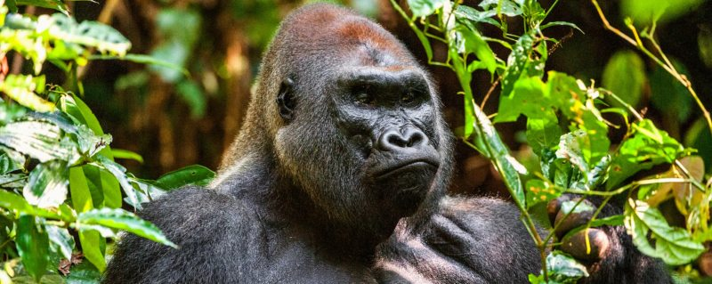 You can go gorilla trekking in Odzala-Kokoua National Park.