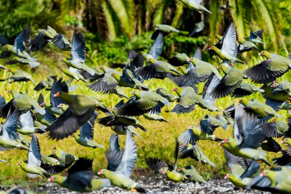 There's nothing dull about the pigeons in Odzala-Kokoua National Park. © Odzala Discovery Camps