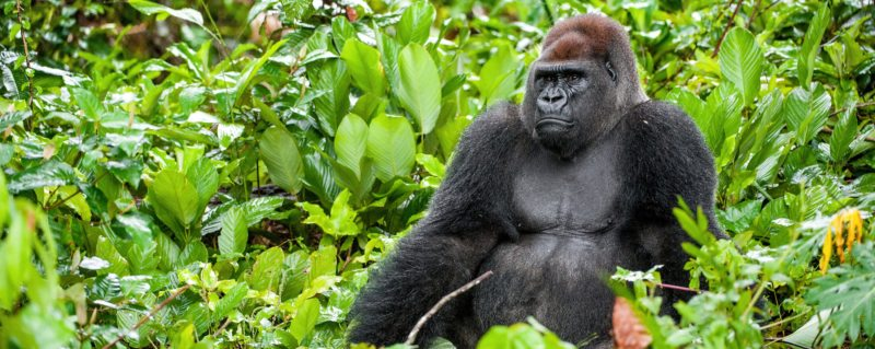 A luxury Congo safari will take you to see the gorilla of Odzala-Kokoua National Park.