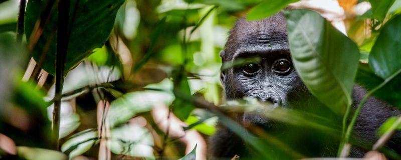 Seeing western lowland gorilla is a highlight of a luxury Congo safari.