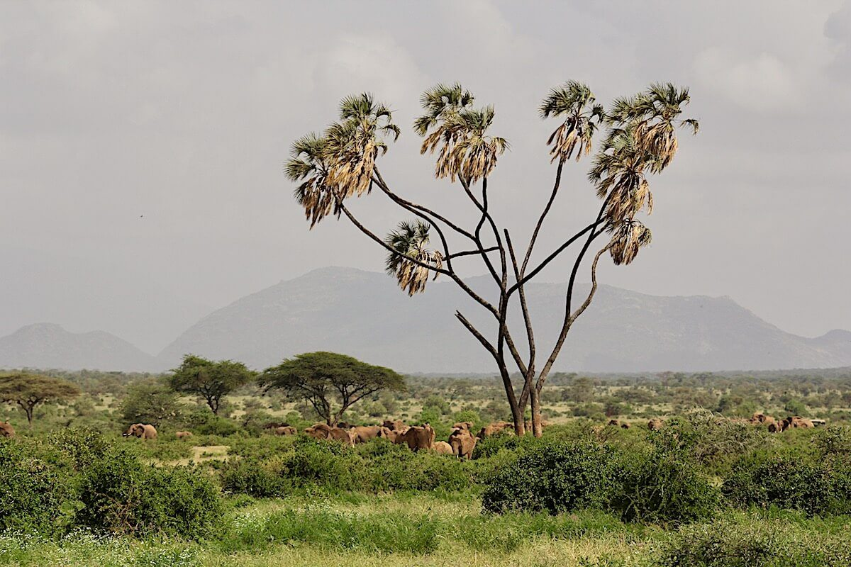 A herd of elephant passes one of Samburu's iconic Doum palms as they head to water