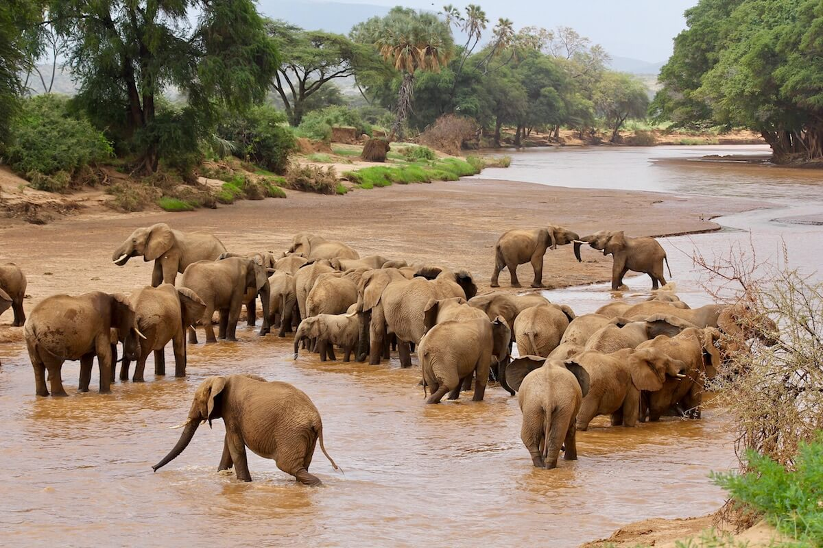 Elephants drink and socialise in the Ewaso Ng'iro river. Samburu National Reserve