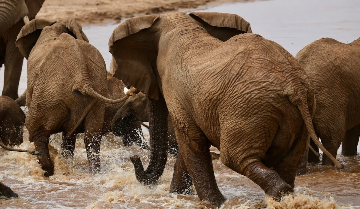 The musth bull strides into the water, scattering the elephants around him.