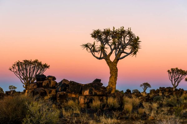 You'll love Namibia's iconic quiver trees.