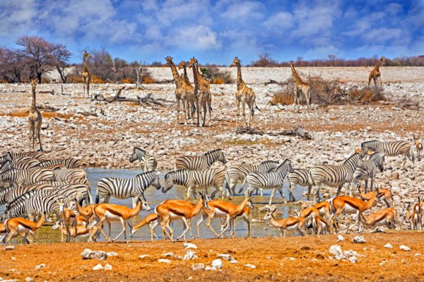 The Etosha waterholes attract plenty of wildlife.