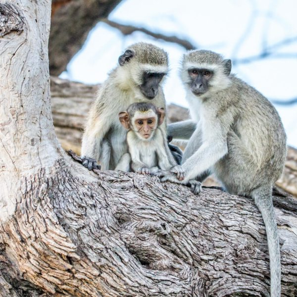 Vervet Monkey wallpaper | Art of Safari