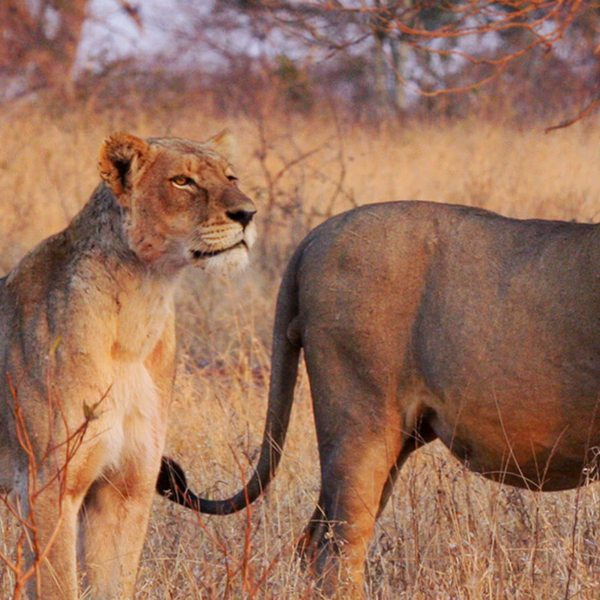 Sabi Sand is famous for its big cats.