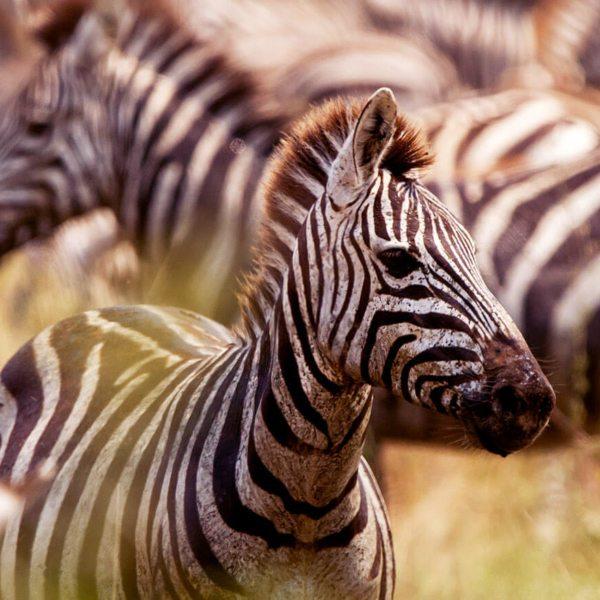 The Serengeti is full of plains game, like zebra.