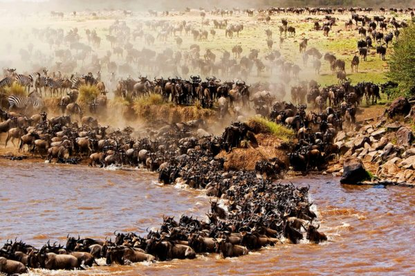 The best time to see the Great Wildebeest Migration in Kenya is in August or September, when it crosses the Mara River. © Mara Intrepids Camp