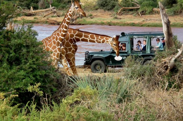 Gentle giraffe are a favourite on game drives in Samburu. © The Intrepid Safari Company