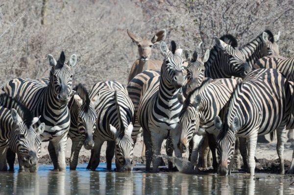 Waterhole-hopping in Etosha lets you easily locate game. © Safarihoek Lodge