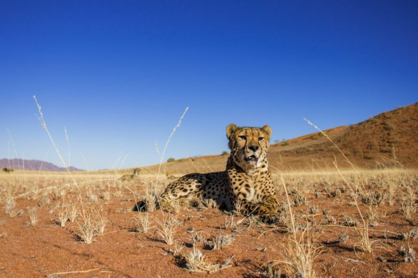 The flat stretches of Namibia are perfect for cheetah.