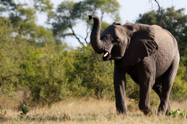 The Sabi Sand has lots of elephant. © Nkorho Bush Lodge