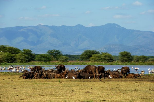 Buffalo are known to rest next to Lake Manyara. © Serena Hotels