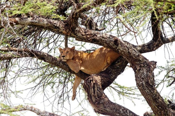 You'll be as relaxed as this lion after your classic safari. © Serena Hotels