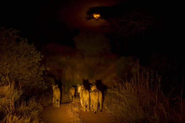 Lion hunt in Ruaha by night. © Nomad Tanzania