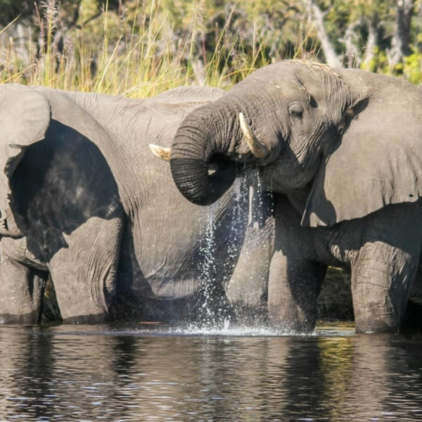 Botswana is famous for its elephant numbers. © Desert & Delta Safaris