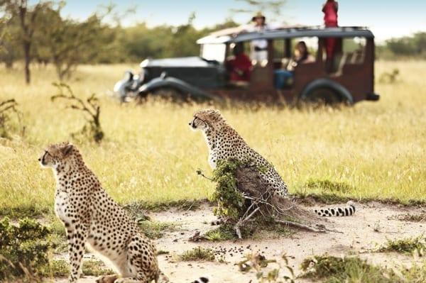 Cheetah roam the savannah near Cottar's Bush Villa. © Cottar's 1920 Camp