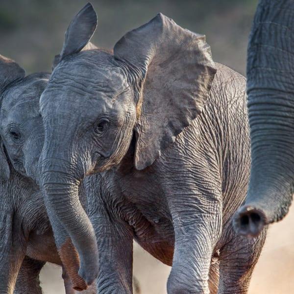 Wallpaper | Two Elephant Calves Frolicking | Art of Safari