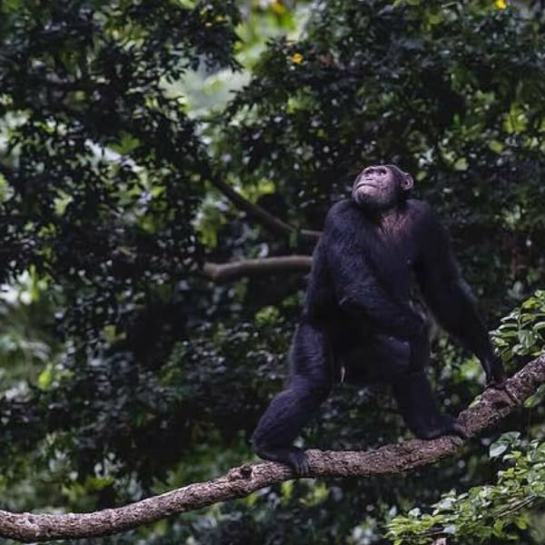 Kyambura Gorge Lodge is famous for its chimp-trekking opportunities. © Volcanoes Safaris