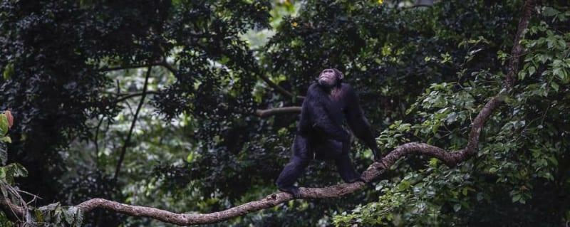 Kyambura Gorge Lodge is famous for its chimp-trekking opportunities. © Volcanoes Safaris