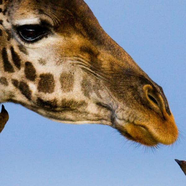 Giraffe with Oxpecker | Wallpaper | Art Of Safari