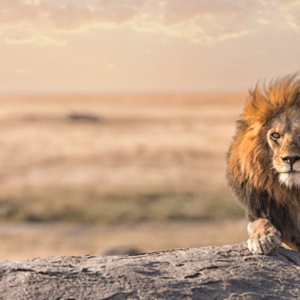 Like lion, Kenya and Tanzania are heavyweights of the safari world. © Shutterstock