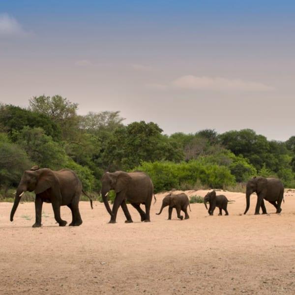 You might see elephant on walking safaris from Tanda Tula Field Camp. © Classic Portfolio