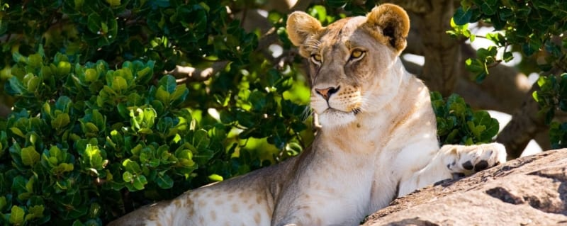 Art Of Safari Lion