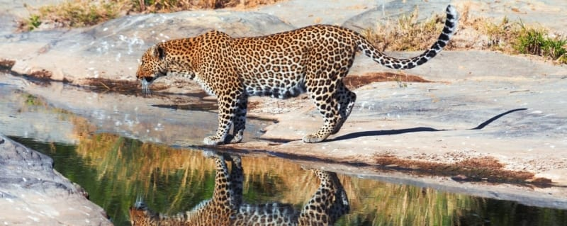Sabi Sands Art Of Safari Leopard