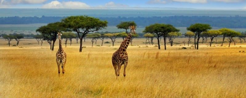 Kenya Giraffe Masai Mara