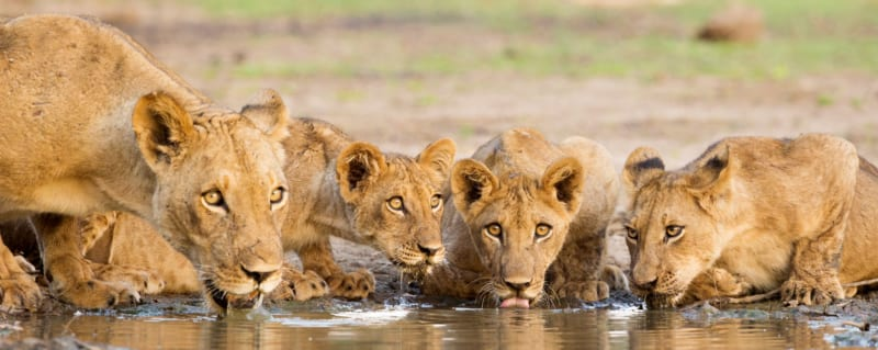 Savute Lion Botswana