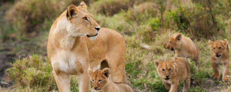 Tanzania Lion Pride