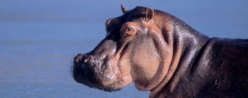 Tanzania | Hippo | Selous