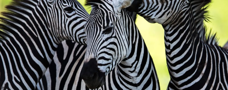 Art Of Safari | Zebra